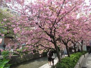 20170422高瀬川の桜01