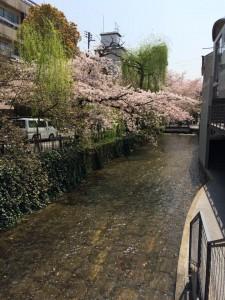 20170414高瀬川の桜01