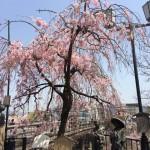 20170414鴨川の桜01
